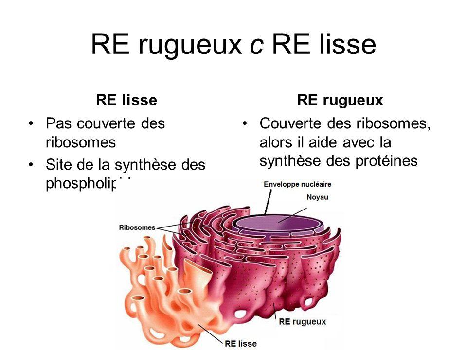 RE rugueux c RE lisse RE lisse Pas couverte des ribosomes Site de la synthèse des phospholipides RE rugueux Couverte des ribosomes, alors il aide avec