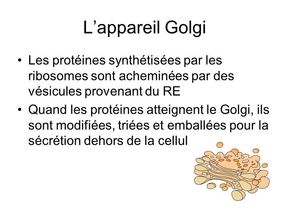 Lappareil Golgi Les protéines synthétisées par les ribosomes sont acheminées par des vésicules provenant du RE Quand les protéines atteignent le Golgi