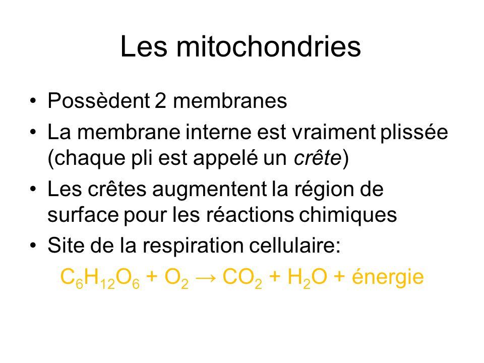 Les mitochondries Possèdent 2 membranes La membrane interne est vraiment plissée (chaque pli est appelé un crête) Les crêtes augmentent la région de s
