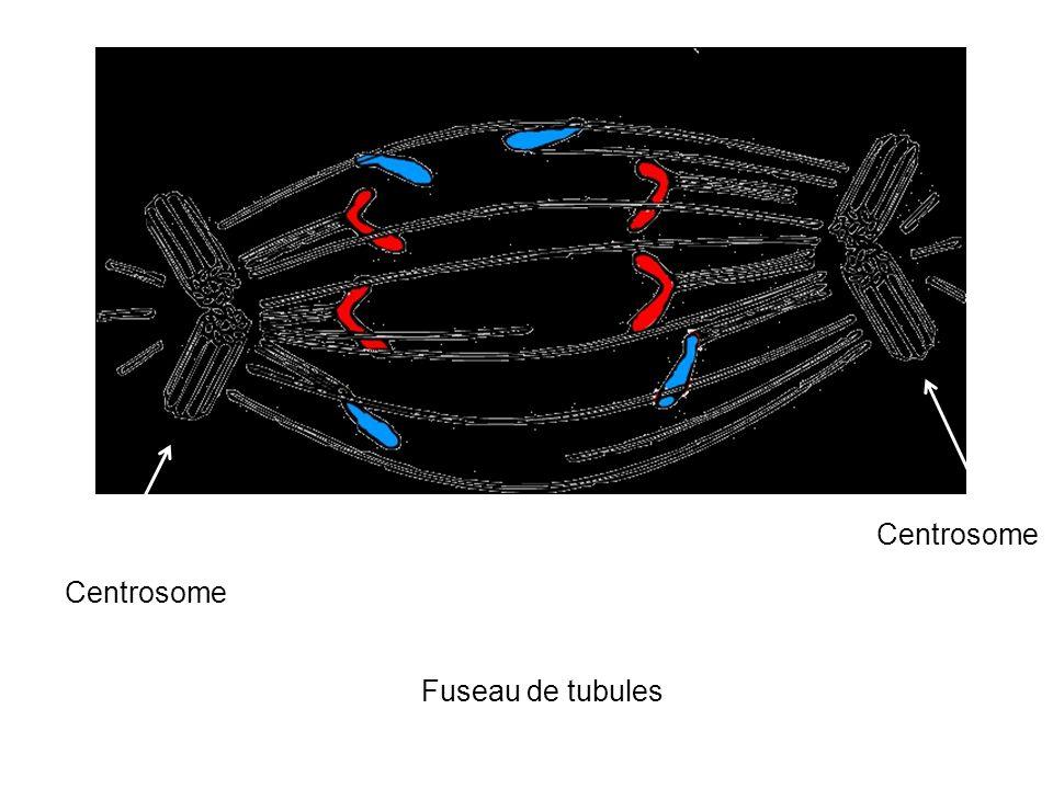 Centrosome Fuseau de tubules