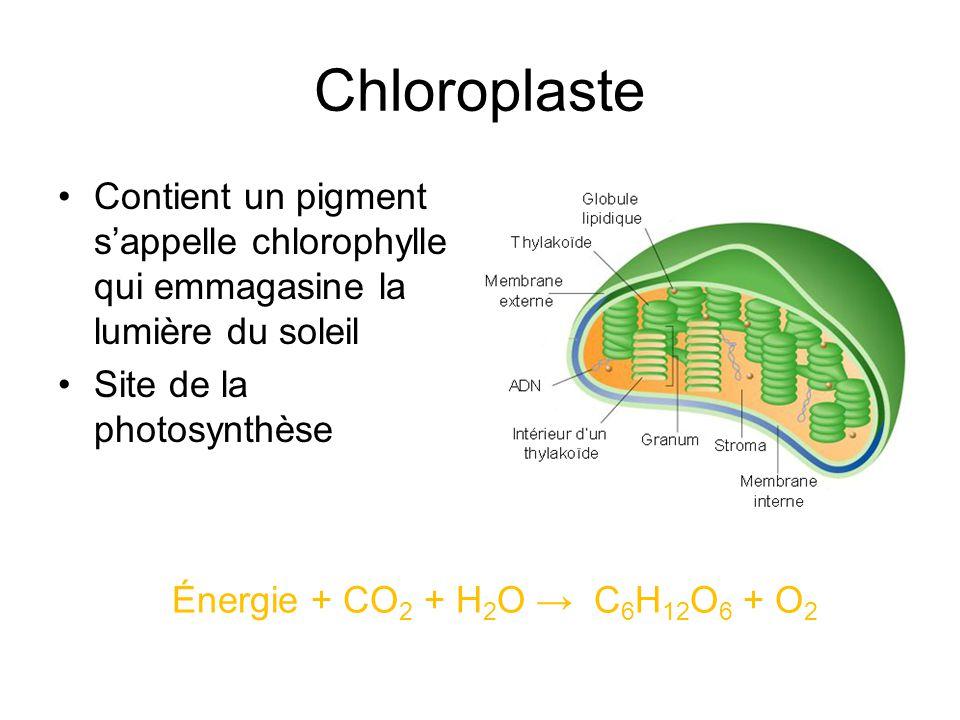 Chloroplaste Contient un pigment sappelle chlorophylle qui emmagasine la lumière du soleil Site de la photosynthèse Énergie + CO 2 + H 2 O C 6 H 12 O