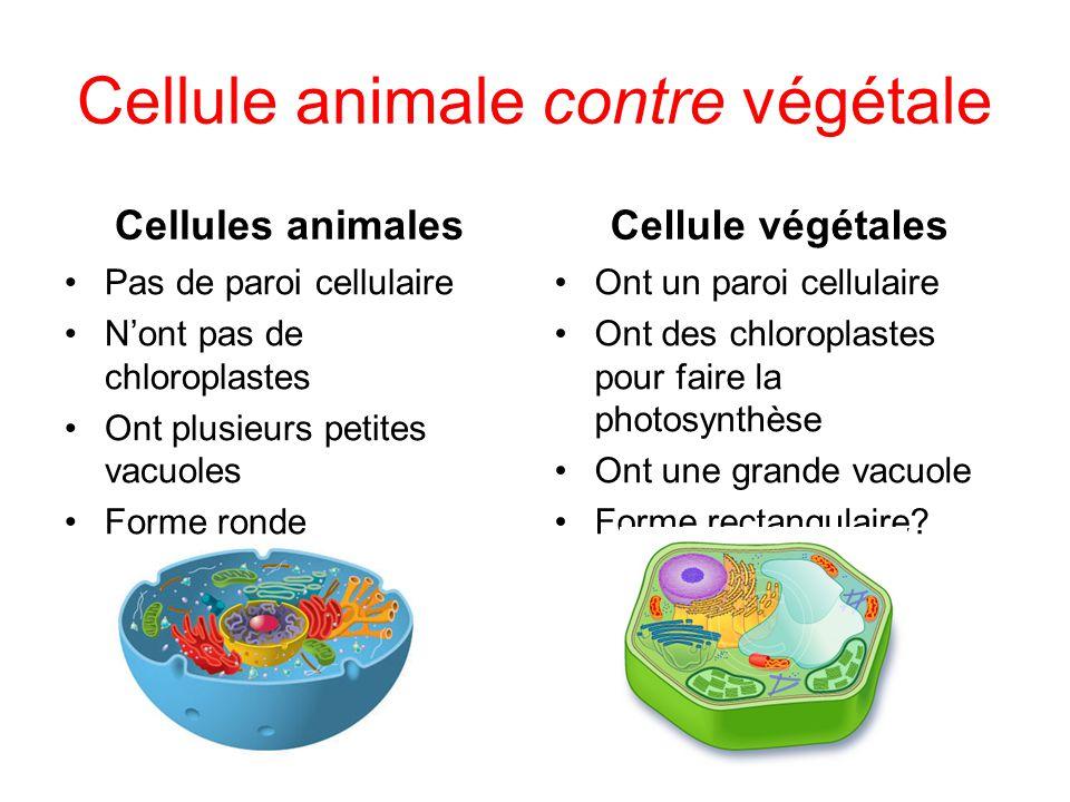 Cellule animale contre végétale Cellules animales Pas de paroi cellulaire Nont pas de chloroplastes Ont plusieurs petites vacuoles Forme ronde Cellule