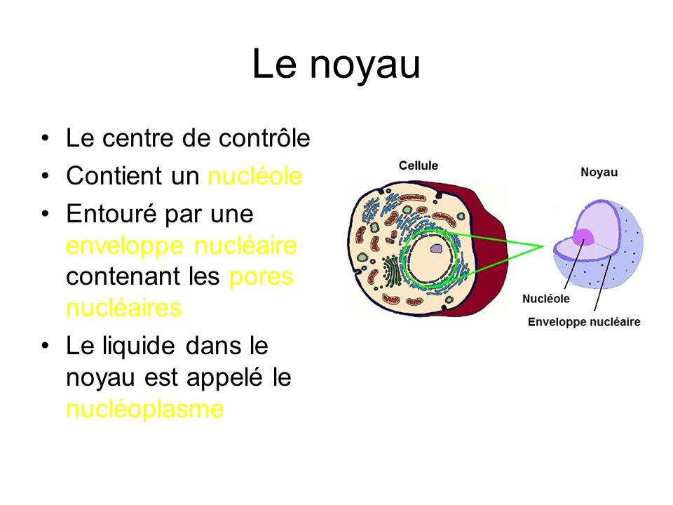 Le noyau Le centre de contrôle Contient un nucléole Entouré par une enveloppe nucléaire contenant les pores nucléaires Le liquide dans le noyau est ap
