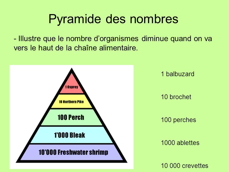 Pyramide des nombres - Illustre que le nombre dorganismes diminue quand on va vers le haut de la chaîne alimentaire. 1 balbuzard 10 brochet 100 perche