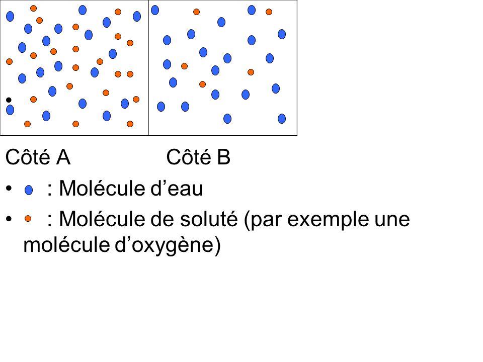 Côté A Côté B : Molécule deau : Molécule de soluté (par exemple une molécule doxygène)