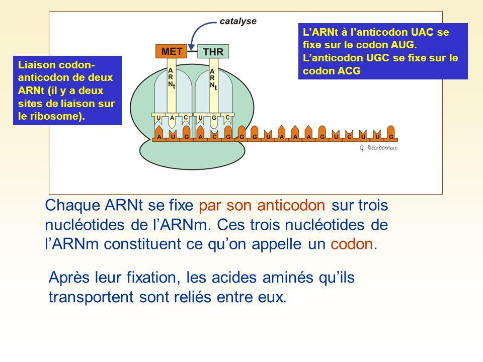 Liaison codon- anticodon de deux ARNt (il y a deux sites de liaison sur le ribosome). Chaque ARNt se fixe par son anticodon sur trois nucléotides de l