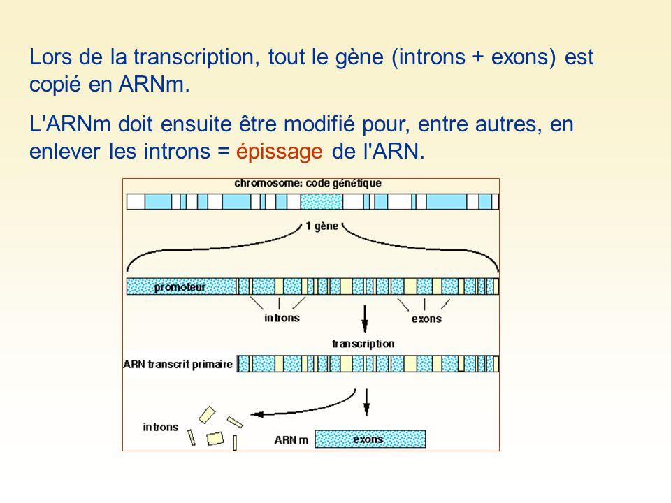 Lors de la transcription, tout le gène (introns + exons) est copié en ARNm. L'ARNm doit ensuite être modifié pour, entre autres, en enlever les intron