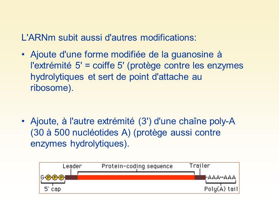 L'ARNm subit aussi d'autres modifications: Ajoute d'une forme modifiée de la guanosine à l'extrémité 5' = coiffe 5' (protège contre les enzymes hydrol