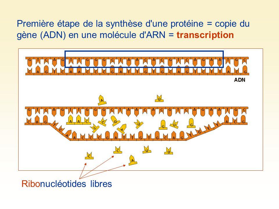 Première étape de la synthèse d'une protéine = copie du gène (ADN) en une molécule d'ARN = transcription Ribonucléotides libres
