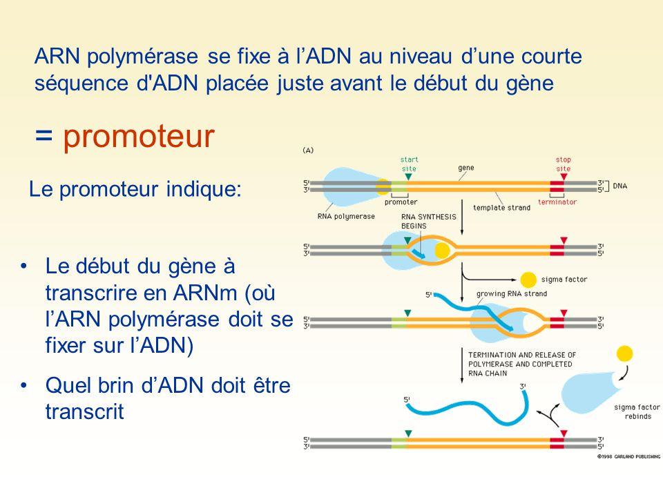 ARN polymérase se fixe à lADN au niveau dune courte séquence d'ADN placée juste avant le début du gène = promoteur Le promoteur indique: Le début du g