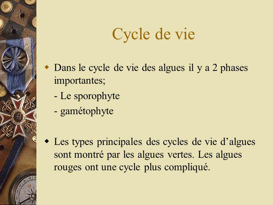Cycle de vie Dans le cycle de vie des algues il y a 2 phases importantes; - Le sporophyte - gamétophyte Les types principales des cycles de vie dalgue