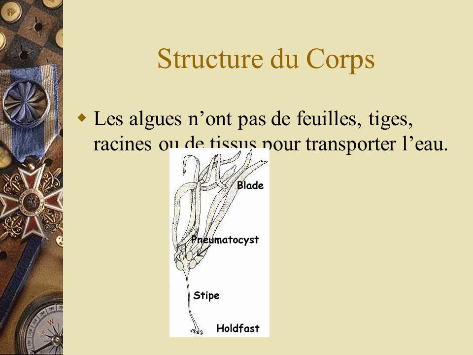 Structure du Corps Les algues nont pas de feuilles, tiges, racines ou de tissus pour transporter leau.