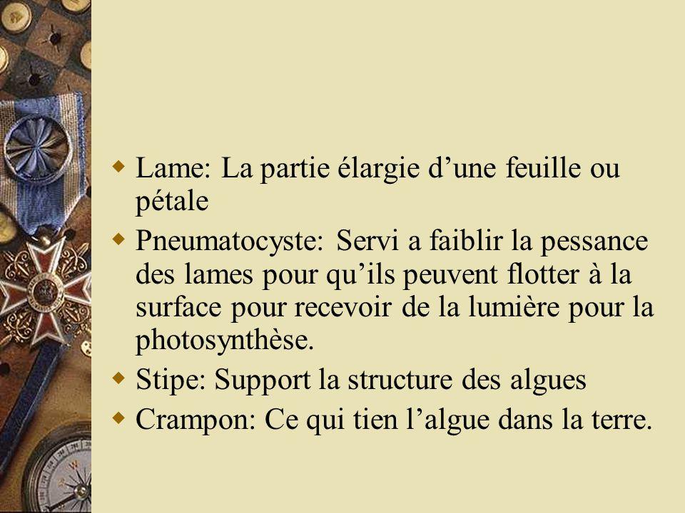 Lame: La partie élargie dune feuille ou pétale Pneumatocyste: Servi a faiblir la pessance des lames pour quils peuvent flotter à la surface pour recev