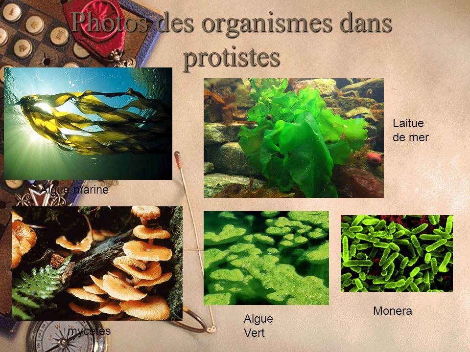 Photos des organismes dans protistes Algue marine Laitue de mer Monera Algue Vert mycètes