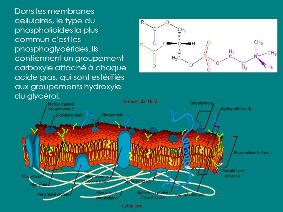 Les Phospholipides: Comme les triglycérides, les phospholipides sont composés d'un glycérol attaché aux acides gras. Cependant, un phospholipide a seu