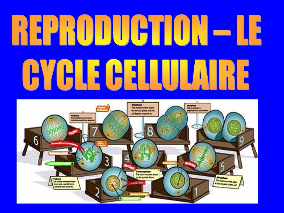 http://www.biologycorner.com/bio1/cellcycle.html