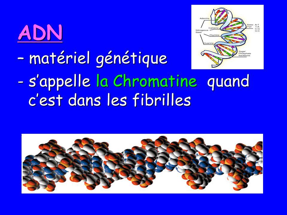 ADN – matériel génétique - sappelle la Chromatine quand cest dans les fibrilles