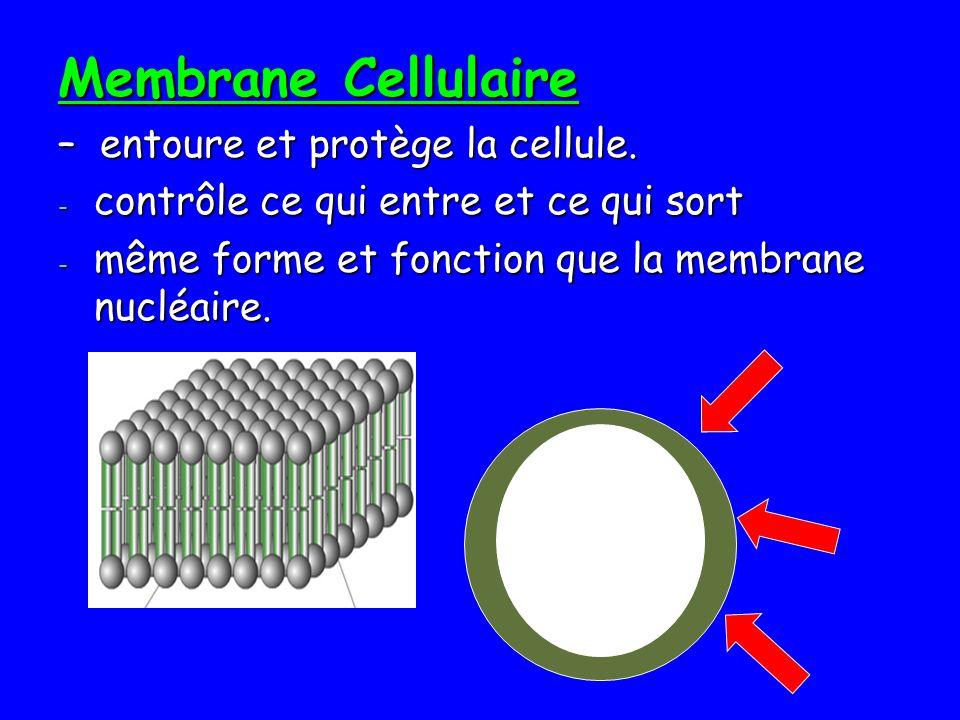 Membrane Cellulaire – entoure et protège la cellule. - contrôle ce qui entre et ce qui sort - même forme et fonction que la membrane nucléaire.