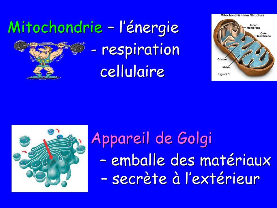 Mitochondrie – lénergie - respiration - respiration cellulaire cellulaire Appareil de Golgi – emballe des matériaux – secrète à lextérieur – emballe d