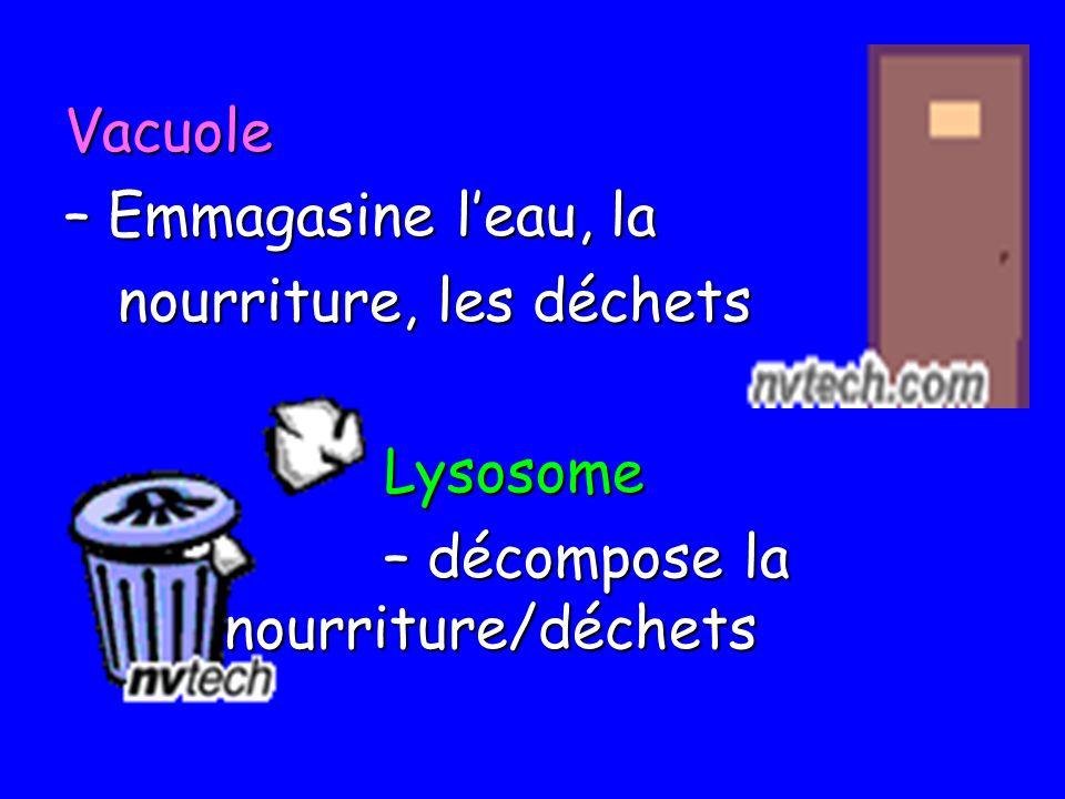Vacuole – Emmagasine leau, la nourriture, les déchets nourriture, les déchetsLysosome – décompose la nourriture/déchets
