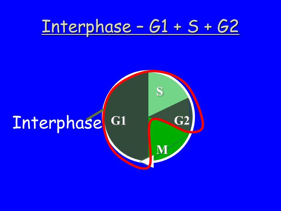 Interphase – G1 + S + G2 G1 M M G2 S S Interphase