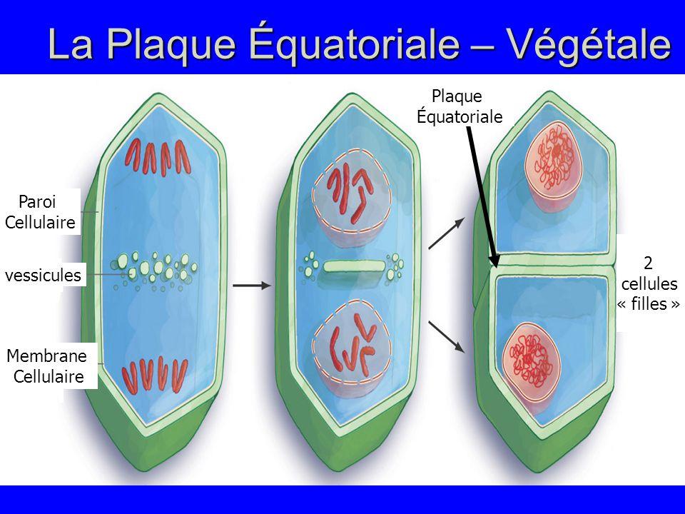 La Plaque Équatoriale – Végétale Paroi Cellulaire vessicules Membrane Cellulaire 2 cellules « filles » Plaque Équatoriale