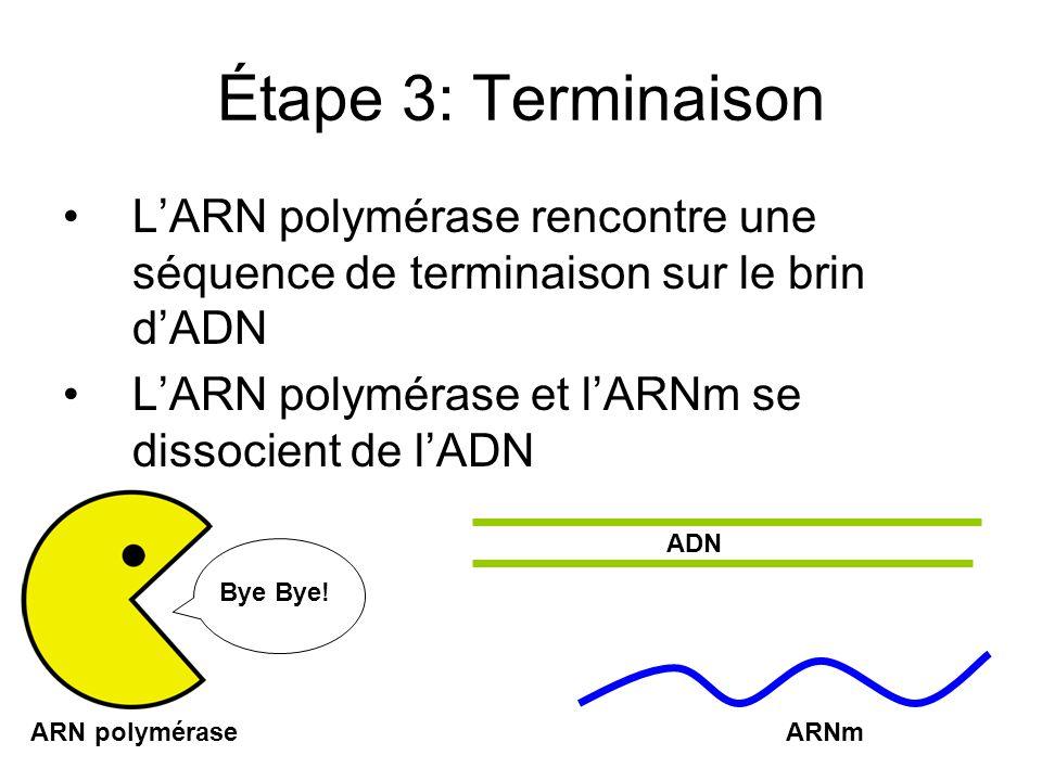 Étape 3: Terminaison LARN polymérase rencontre une séquence de terminaison sur le brin dADN LARN polymérase et lARNm se dissocient de lADN ARNmARN polymérase ADN Bye Bye!
