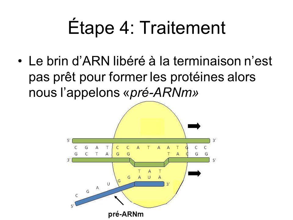 Étape 4: Traitement Le brin dARN libéré à la terminaison nest pas prêt pour former les protéines alors nous lappelons «pré-ARNm» pré-ARNm