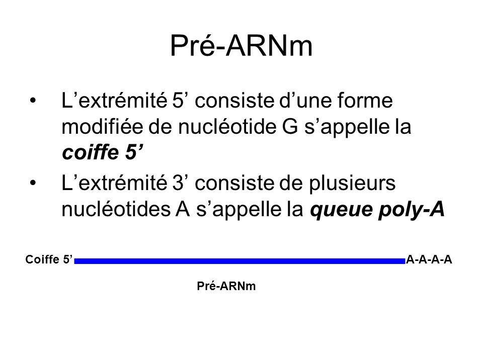 Pré-ARNm Lextrémité 5 consiste dune forme modifiée de nucléotide G sappelle la coiffe 5 Lextrémité 3 consiste de plusieurs nucléotides A sappelle la queue poly-A A-A-A-A Coiffe 5 Pré-ARNm