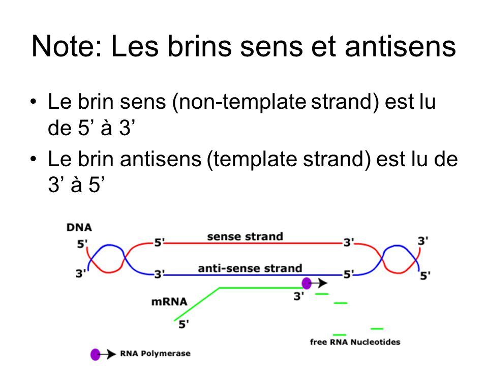 Note: Les brins sens et antisens Le brin sens (non-template strand) est lu de 5 à 3 Le brin antisens (template strand) est lu de 3 à 5