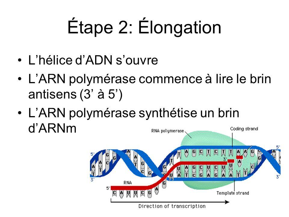Étape 2: Élongation Lhélice dADN souvre LARN polymérase commence à lire le brin antisens (3 à 5) LARN polymérase synthétise un brin dARNm