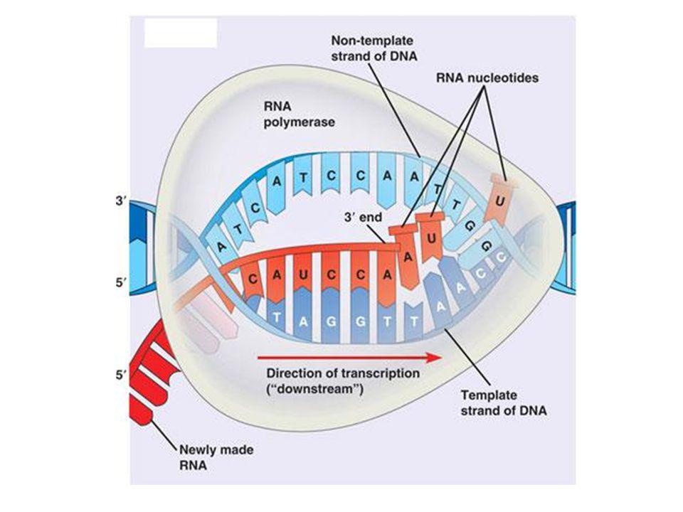 Élongation cont. Le brin dARNm est antiparallèle au brin antisens et il contient U au lieu de T