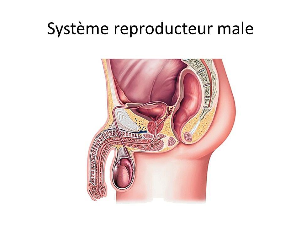 Parties du système reproducteur male