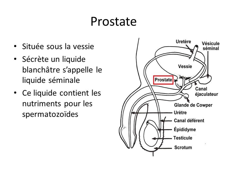 Prostate Située sous la vessie Sécrète un liquide blanchâtre sappelle le liquide séminale Ce liquide contient les nutriments pour les spermatozoïdes