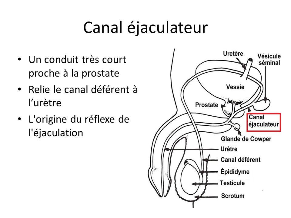 Canal éjaculateur Un conduit très court proche à la prostate Relie le canal déférent à lurètre L'origine du réflexe de l'éjaculation