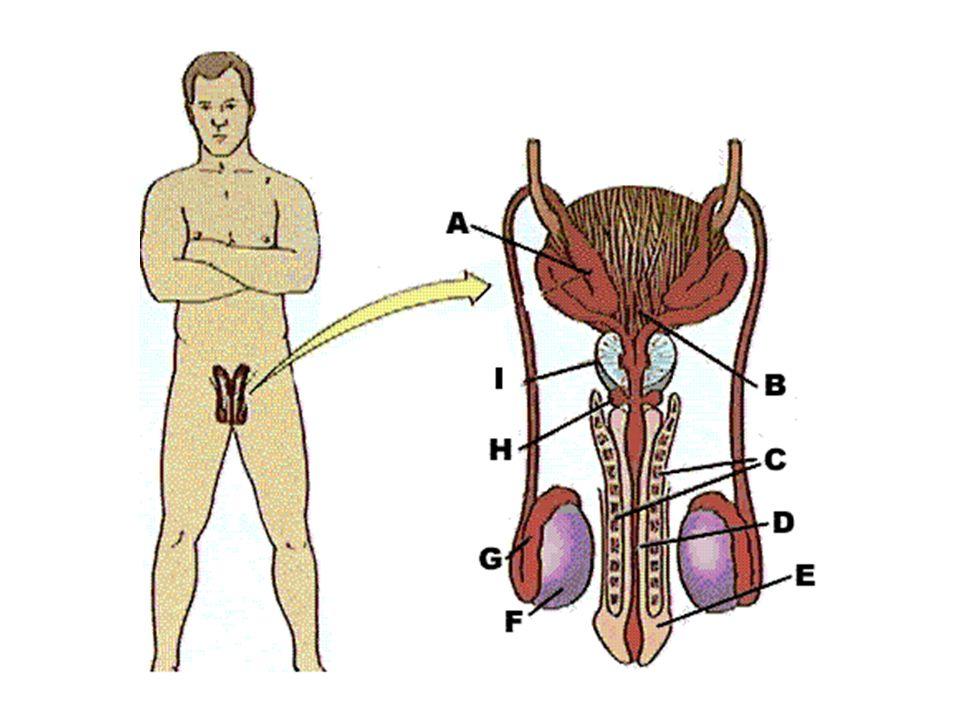 Testicule Glande sexuelle male Fabrique les spermatozoïdes et sécrète la testostérone Situé à lextérieur du pelvis dans le scrotum Généralement, il y a 2