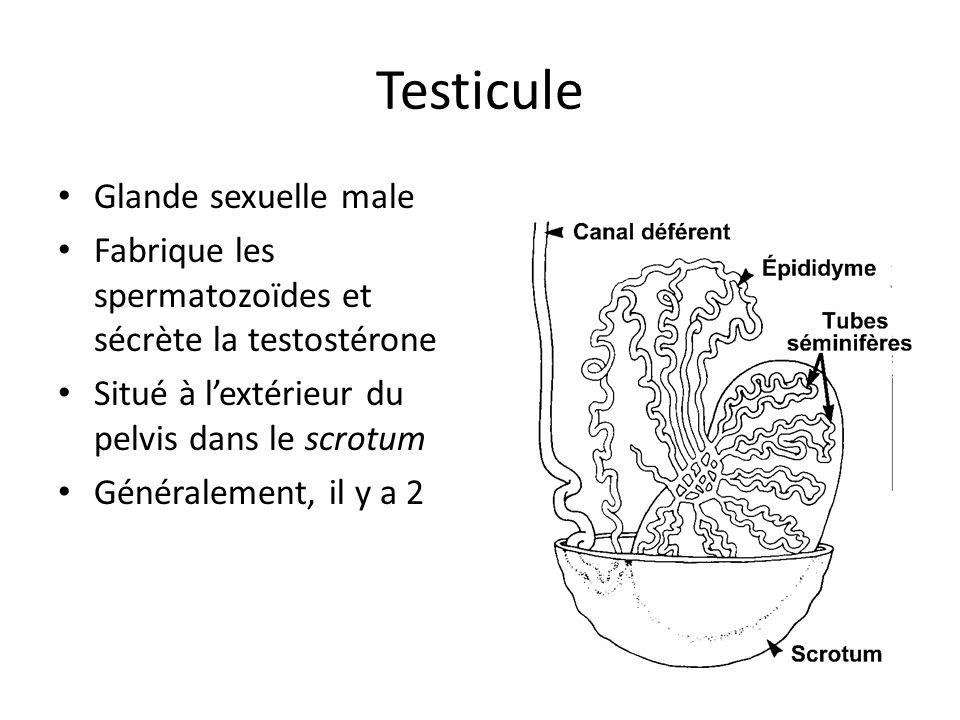 Testicule Glande sexuelle male Fabrique les spermatozoïdes et sécrète la testostérone Situé à lextérieur du pelvis dans le scrotum Généralement, il y