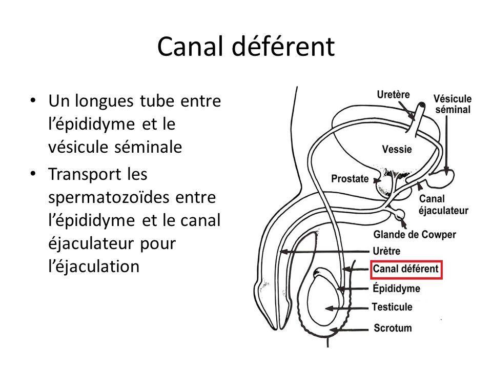 Canal déférent Un longues tube entre lépididyme et le vésicule séminale Transport les spermatozoïdes entre lépididyme et le canal éjaculateur pour léj