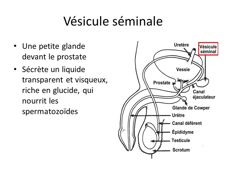 Vésicule séminale Une petite glande devant le prostate Sécrète un liquide transparent et visqueux, riche en glucide, qui nourrit les spermatozoïdes