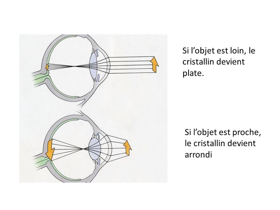 Si lobjet est loin, le cristallin devient plate. Si lobjet est proche, le cristallin devient arrondi