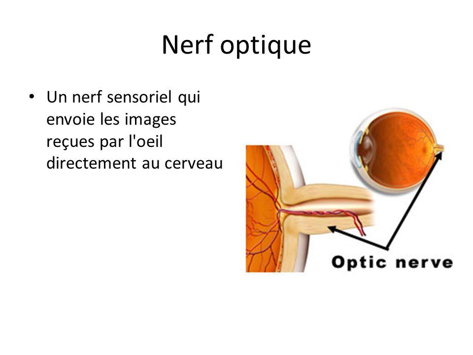 Nerf optique Un nerf sensoriel qui envoie les images reçues par l'oeil directement au cerveau