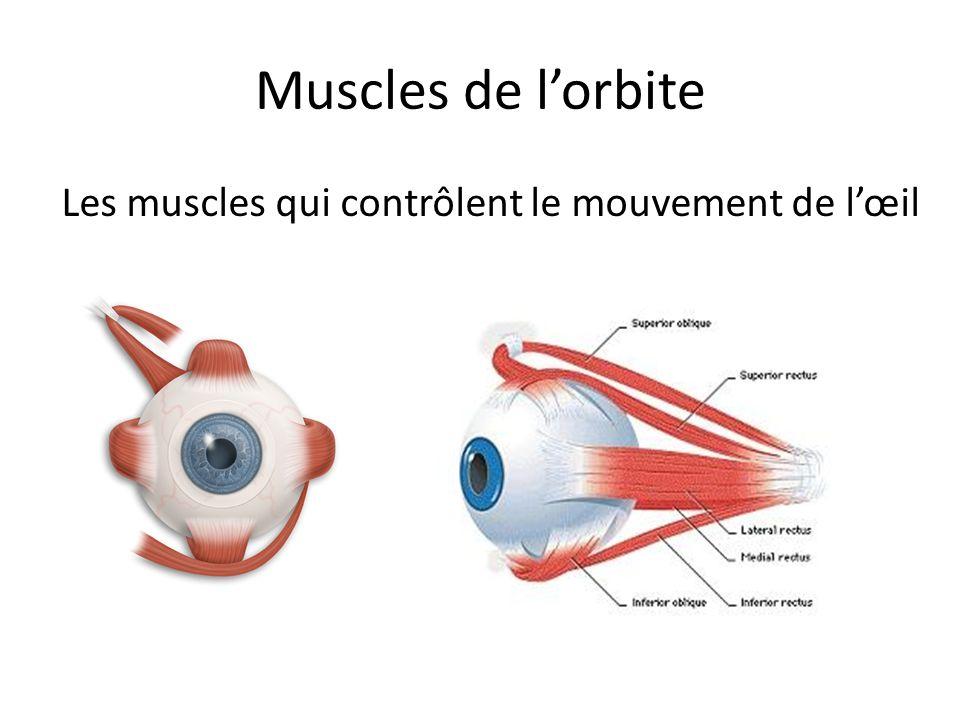 Muscles de lorbite Les muscles qui contrôlent le mouvement de lœil