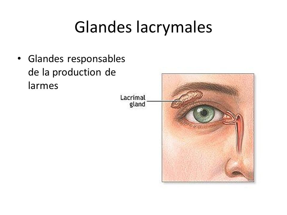 Glandes lacrymales Glandes responsables de la production de larmes