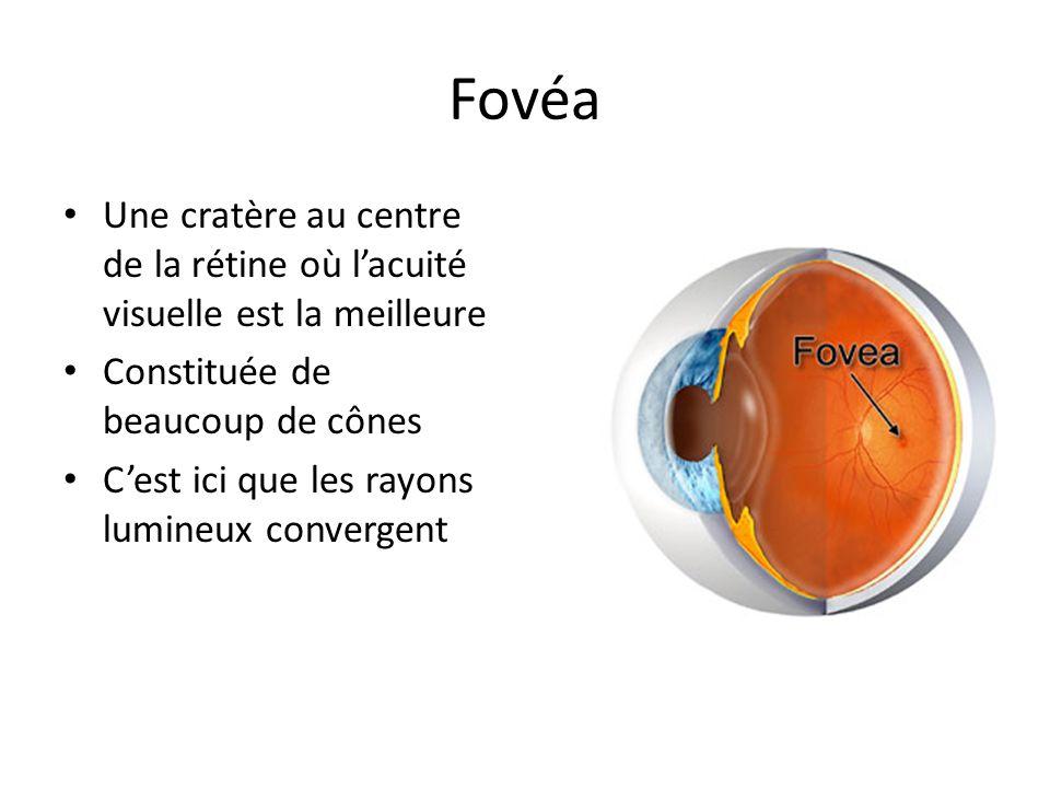 Fovéa Une cratère au centre de la rétine où lacuité visuelle est la meilleure Constituée de beaucoup de cônes Cest ici que les rayons lumineux converg