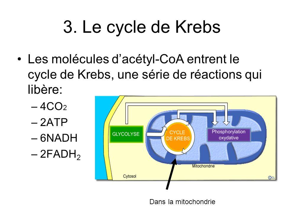3. Le cycle de Krebs Les molécules dacétyl-CoA entrent le cycle de Krebs, une série de réactions qui libère: –4CO 2 –2ATP –6NADH –2FADH 2 Dans la mito