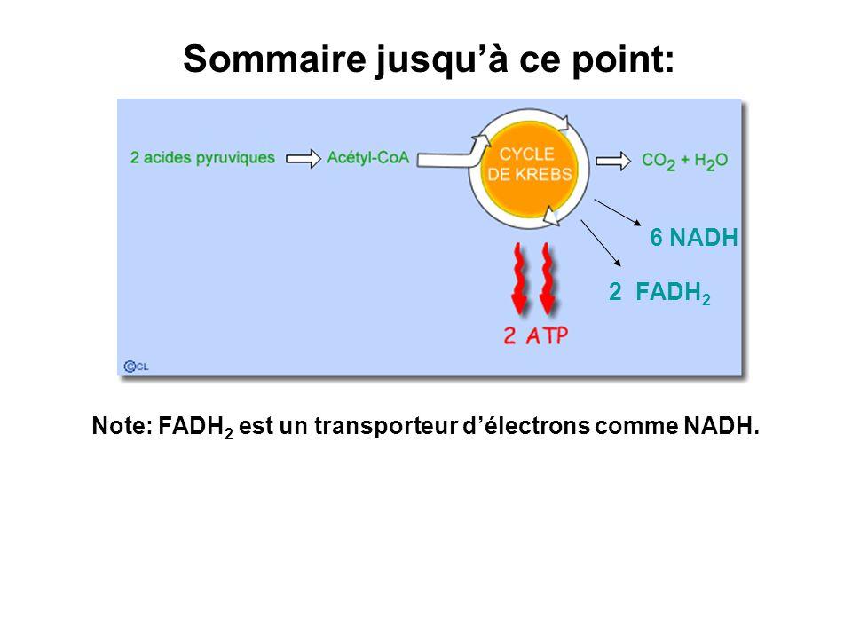 Note: FADH 2 est un transporteur délectrons comme NADH. Sommaire jusquà ce point: 6 NADH 2 FADH 2