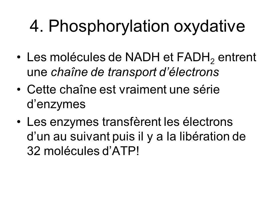 4. Phosphorylation oxydative Les molécules de NADH et FADH 2 entrent une chaîne de transport délectrons Cette chaîne est vraiment une série denzymes L