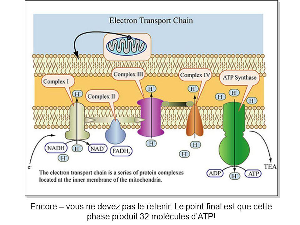 Encore – vous ne devez pas le retenir. Le point final est que cette phase produit 32 molécules dATP!