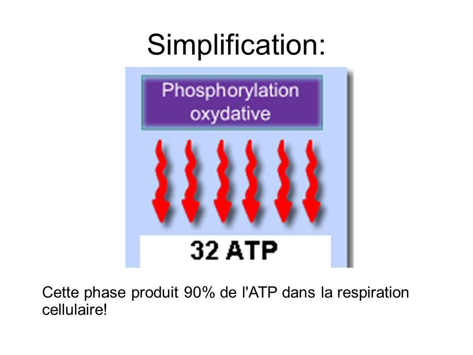 Simplification: Cette phase produit 90% de l'ATP dans la respiration cellulaire!