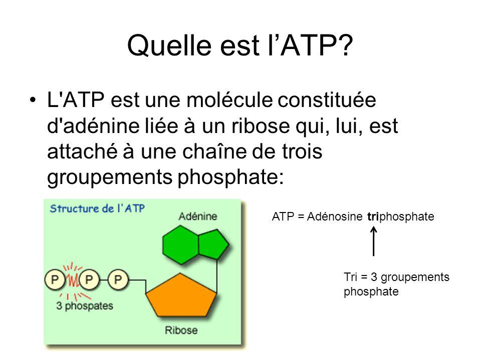 Quelle est lATP? L'ATP est une molécule constituée d'adénine liée à un ribose qui, lui, est attaché à une chaîne de trois groupements phosphate: ATP =
